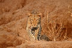 Africa - Leopard500px