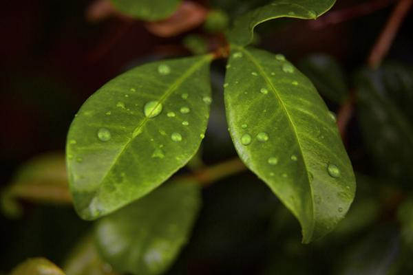 Leaf_Water_Droplets